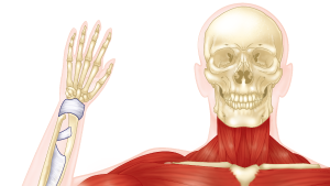 Musculoskeletal and Integumentary Systems
